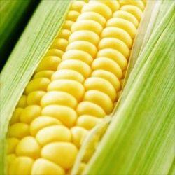 【豆知識】トウモロコシの粒は必ず偶数である