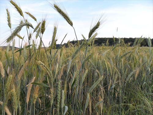 小麦粉って日本では生産できないのにやけに小麦粉が必要な料理って多いよね