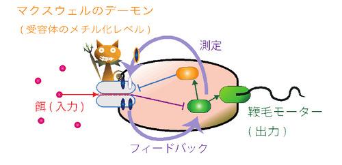 東大など、大腸菌に潜む「マクスウェルの悪魔」の働きを解明することに成功
