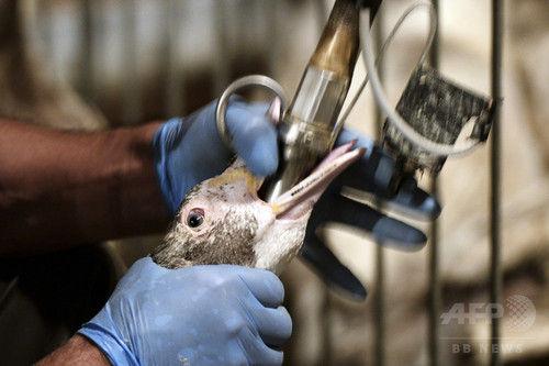 ガチョウに無理やり餌を食べさせるフォアグラの生産方法に、フランス国民の半数が反対