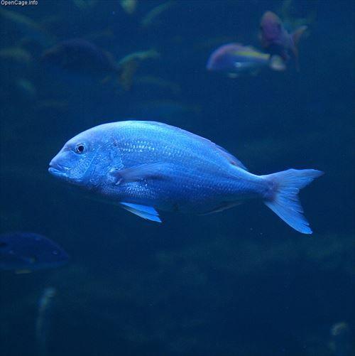 旨い魚ってたくさんあるけど結局総合力で真鯛が最強じゃね?