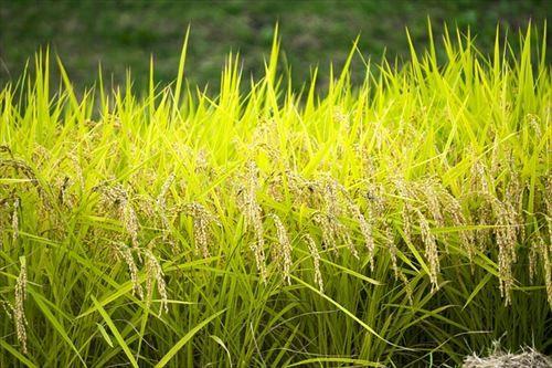 一番米が不味い都道府県wwwwwwwwwwwwwww