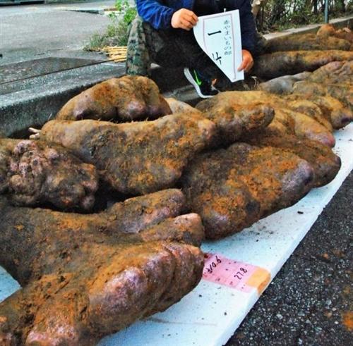 うるまで山芋の総重量を競う大会 優勝は310.6キロ もはや岩だろこれ・・・