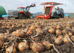 タマネギ大豊作 生産量が過去最多を更新 北海道