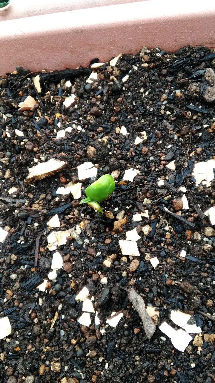 5月25日の枝豆