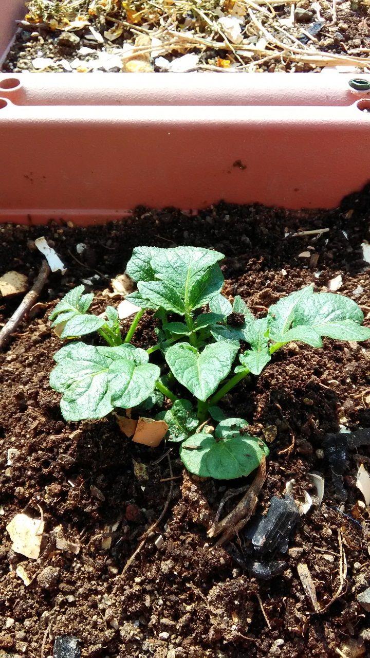 ジャガイモの芽(成長中)