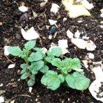5月10日ジャガイモの芽