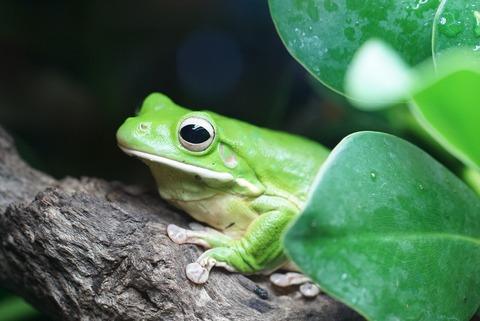 giant-tree-frog-942682_1920
