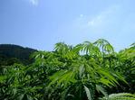P02-大麻01