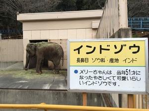池田動物園インドゾウのメリーちゃん51歳