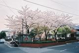 会社の近くの桜