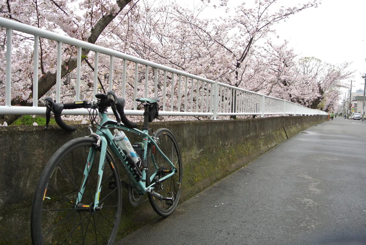 kanagawasakura (8)