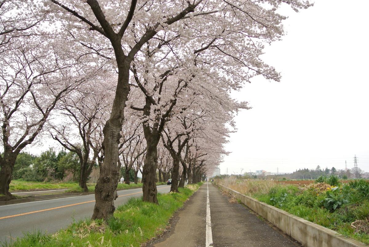 kanagawasakura (12)