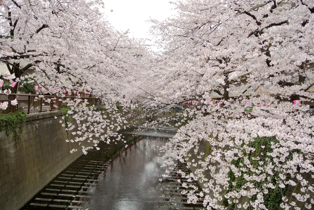 kanagawasakura (4)