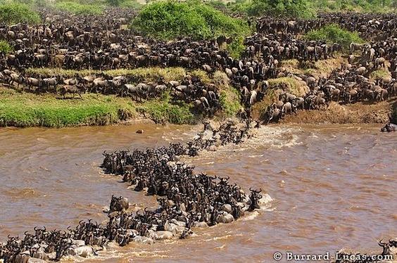 wildebeest_migration_curve