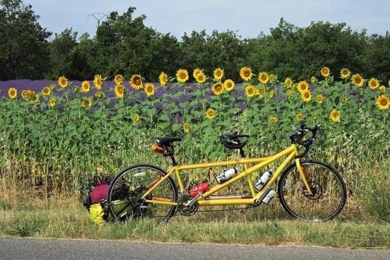Sunflowers-Lavender