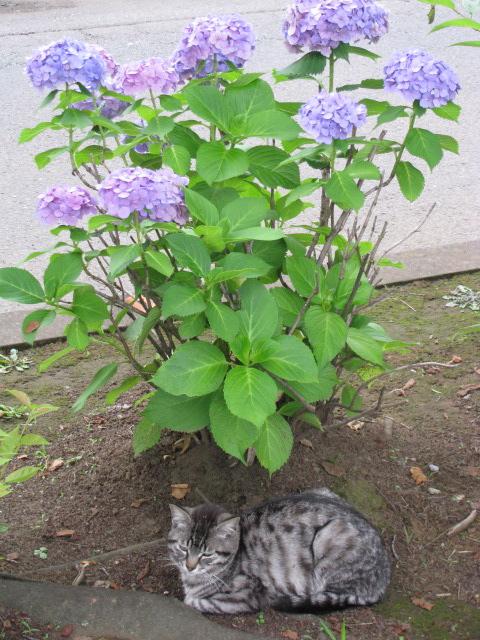 紫陽花+猫