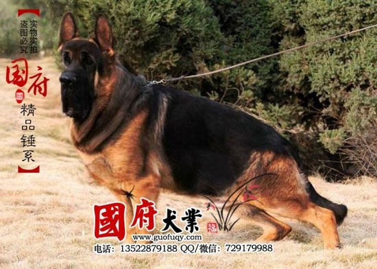 german_shepherd_04