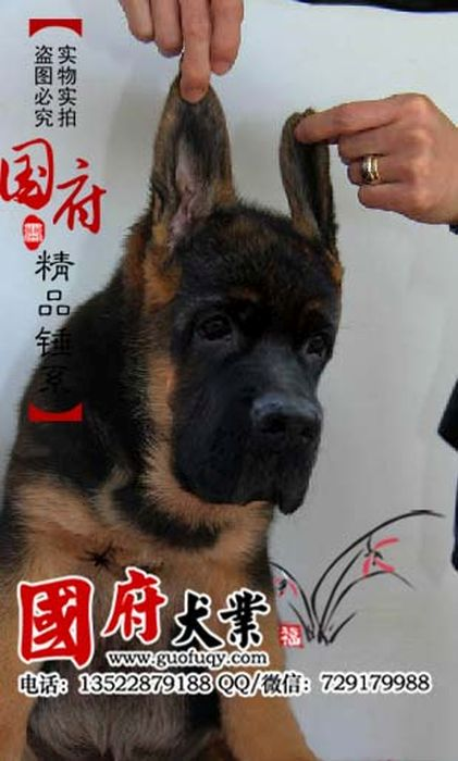 german_shepherd_09