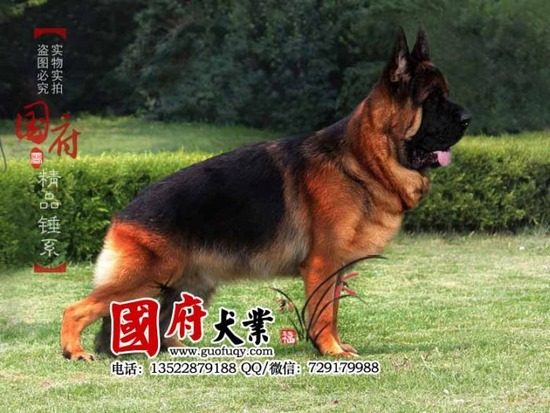 german_shepherd_02