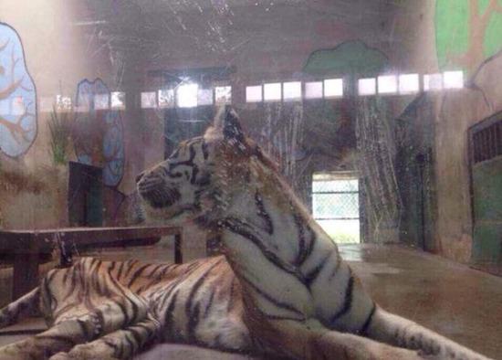 中国の動物園にいる虎が痩せ ...