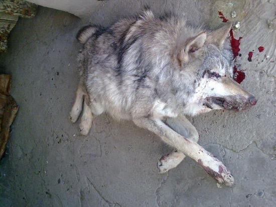 little_wolf_02