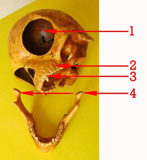 Skull-2-596889