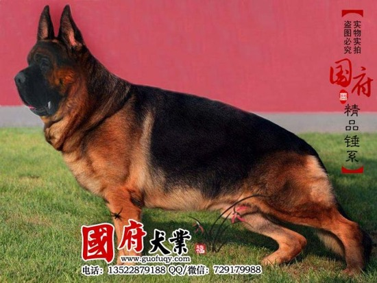 german_shepherd_03