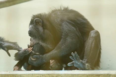 チンパンジー1