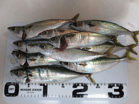 11月21日 福良漁港で浮き釣り