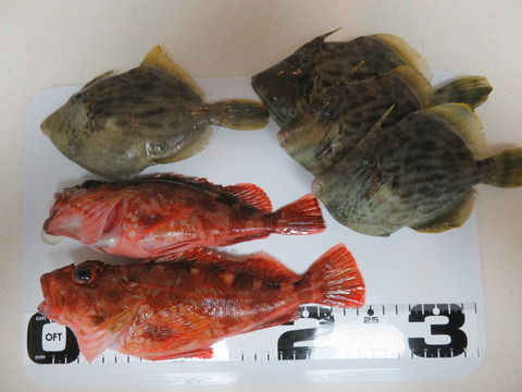 11月22日 南あわじメガフロートでカワハギ釣り