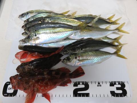 1月31日 南あわじメガフロートでサビキ釣り