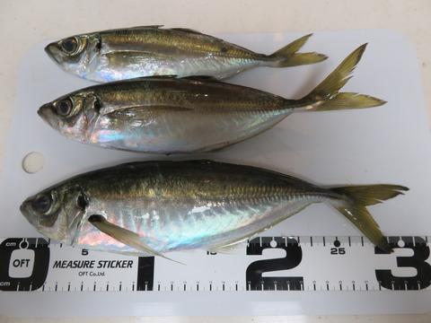 2019年2月2日 南あわじメガフロートでサビキ釣り