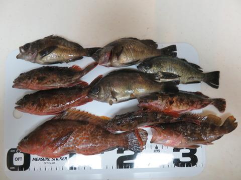 1月16日 南あわじ市土生漁港でエビ撒き釣り