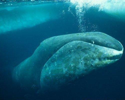 セミクジラの画像 p1_32