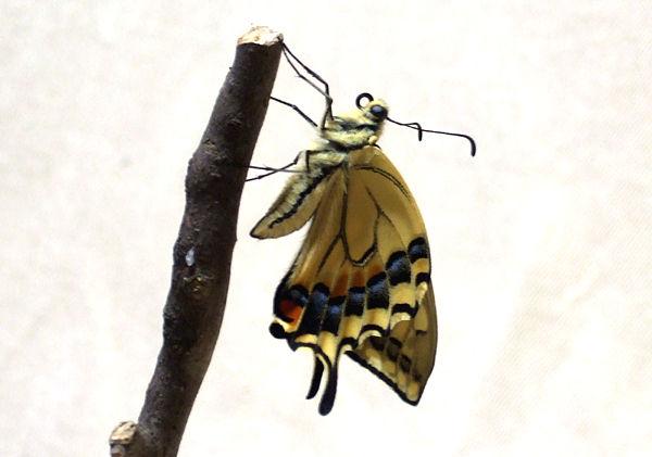 羽化 キアゲハ アゲハ蝶 冬越し予定の蛹が羽化してしまいそうです