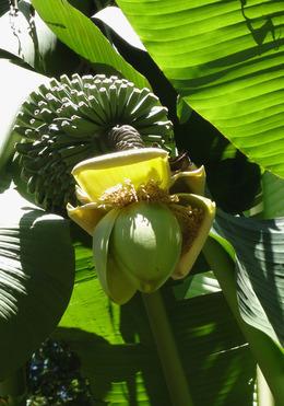 芭蕉の果実