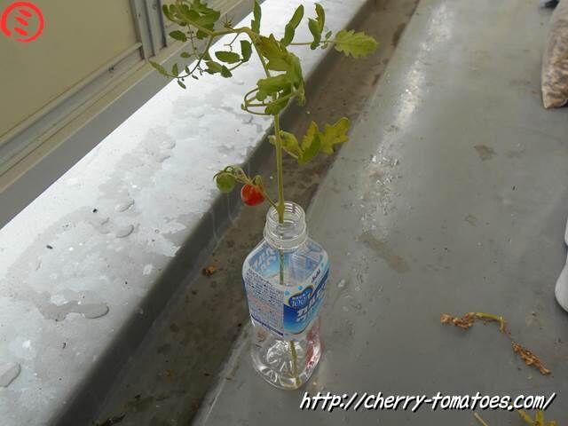 折れたぷるるんの主枝をペットボトルで水耕栽培
