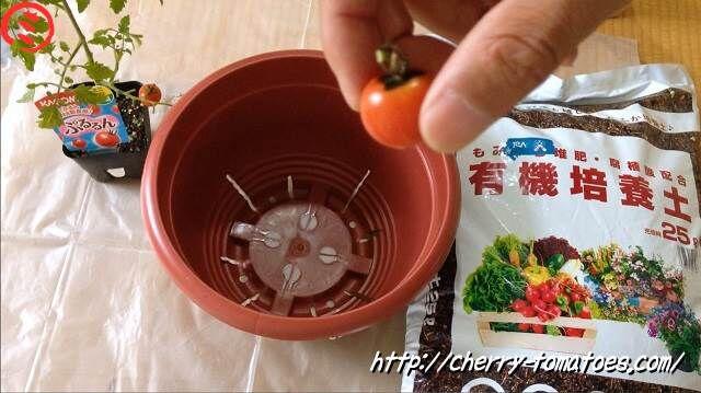 ぷるるん苗定植中に収穫