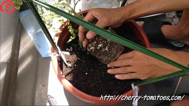 ミニトマトヘレナ苗を鉢に斜めに定植2020年