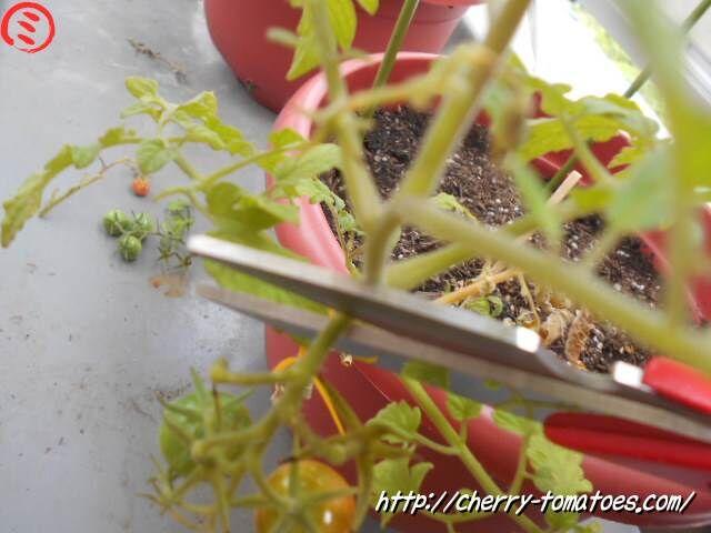 ミニトマトぷるるん苗の第一花房をハサミで切る