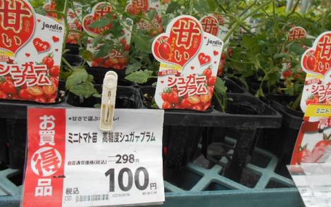 シュガープラム苗の特価品