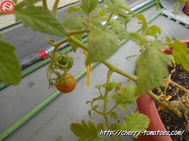 ミニトマトぷるるん苗の第一果房の状態