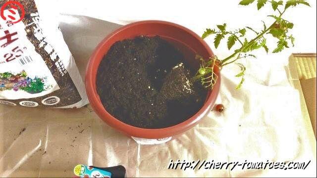 ぷるるん苗を斜めに植える