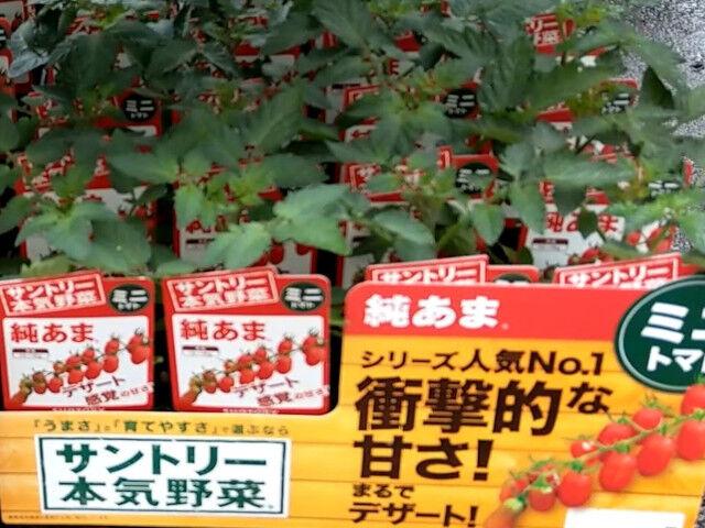 ミニトマトの苗が小さい2021年4月ホームセンター