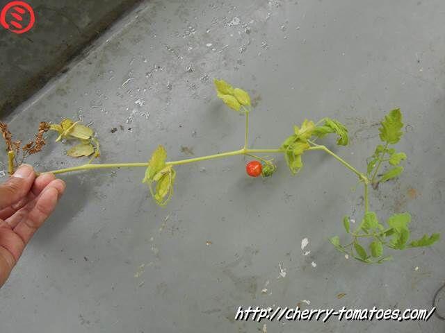 成長点のある主枝が折れたミニトマトのぷるるんの枝