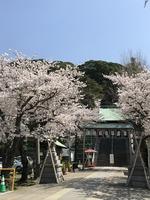 諏訪神社の桜