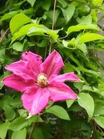 クレマチス一番花
