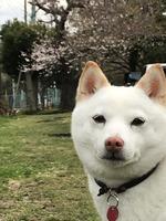 桜バックにマヤポーズ