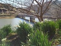 大崩の水仙風景